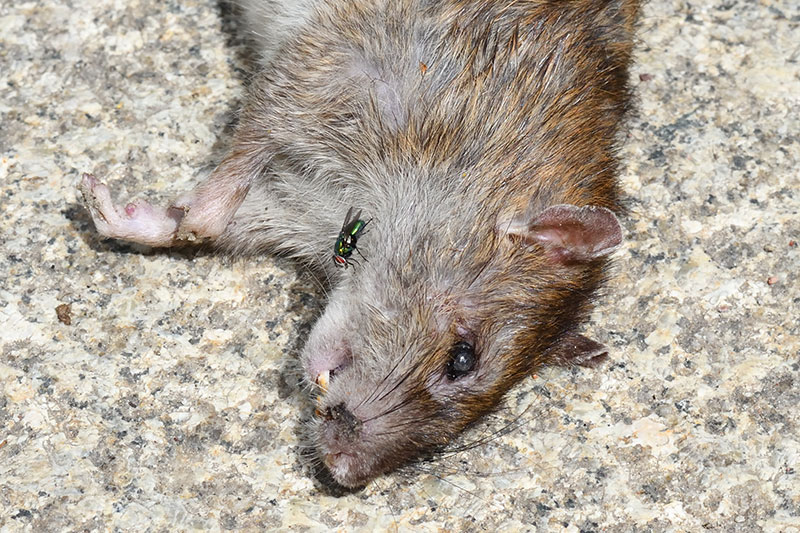 What to do when you find a dead rat