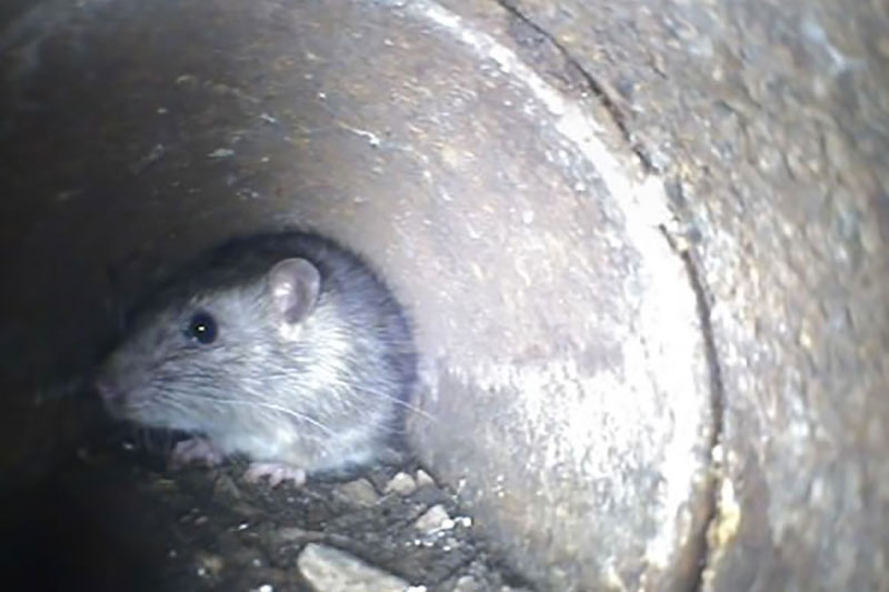 Rat in household pipe