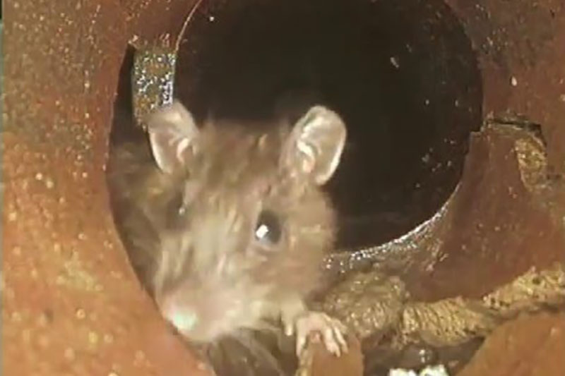 Will rats and mice leave your house come spring? Don't count on it.